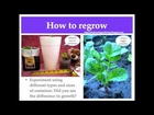 How to regrow store bought radishes