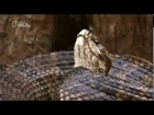 World's Deadliest Snakes - Nature Documentary