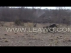 Pig Hunting Vdeo in Pakistan Ch Sarfraz Ali ka Kala Dog