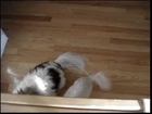 The Dance of Two Tails - Cuteness Overload - Really Cutelicious Dogs - Chiwawa & Papillion