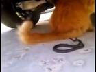 Cat vs. Dangerous Snake